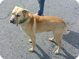 Labrador Retriever/Shar Pei Mix Dog for adoption in East Hartford, Connecticut - Trey in Ct