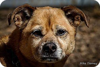 Corgi/Chihuahua Mix Dog for adoption in Westminster, California - Montessa