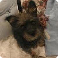 Adopt A Pet :: Noodles the Schnorkie - Phoenix, AZ