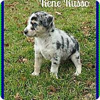 Adopt A Pet :: Rene Russo - Plano, TX