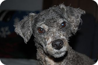 Poodle (Miniature) Mix Dog for adoption in Charlotte, North Carolina - Percy