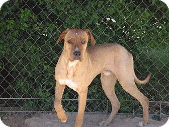 Great Dane Mix Dog for adoption in Las Cruces, New Mexico - Lincoln