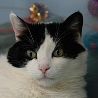 Domestic Shorthair Cat for adoption in Denver, Colorado - Eden