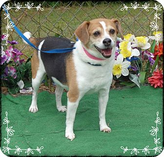 Beagle Dog for adoption in Marietta, Georgia - BEKAH - adopted @ off-site