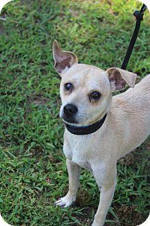 Chihuahua Mix Dog for adoption in Waldorf, Maryland - Eddie