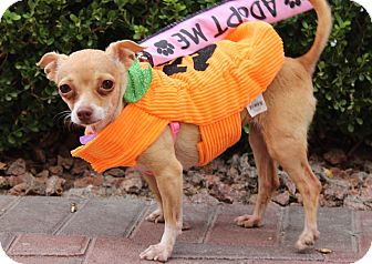 Chihuahua Mix Dog for adoption in Las Vegas, Nevada - NORMA