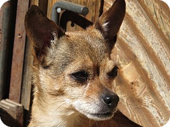 Chihuahua Mix Dog for adoption in Tijeras, New Mexico - Bonita