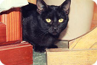 American Shorthair Cat for adoption in Manhattan, Kansas - Duckie
