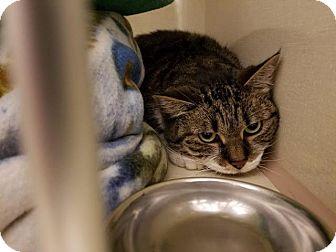 Domestic Shorthair Cat for adoption in Westbury, New York - Lola