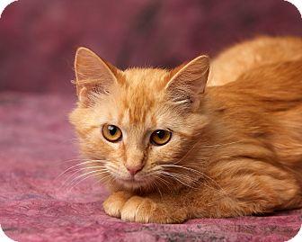 Domestic Longhair Kitten for adoption in Harrisonburg, Virginia - PB 'n Fluff