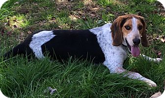 Beagle/Hound (Unknown Type) Mix Dog for adoption in Norwich, Connecticut - Hilton