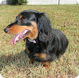 Dachshund Dog for adoption in Umatilla, Florida - Eddie