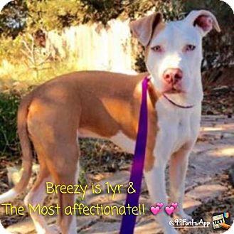 Pit Bull Terrier Dog for adoption in Fulton, Missouri - Breezy - California
