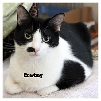 Domestic Shorthair Cat for adoption in San Dimas, California - Cowboy