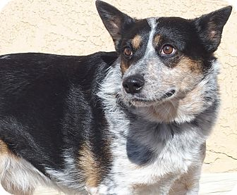 Australian Cattle Dog Dog for adoption in Los Angeles, California - Zahla*courtesy listing