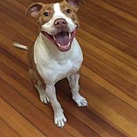 Adopt A Pet :: Jordan - New York, NY
