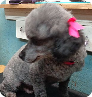 Poodle (Miniature) Dog for adoption in Crump, Tennessee - miranda