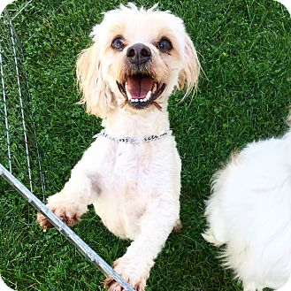 Maltese/Miniature Poodle Mix Dog for adoption in Canoga Park, California - Jack