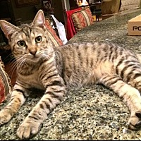 American Shorthair Kitten for adoption in Metairie, Louisiana - Simmone