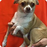 Adopt A Pet :: Lulu - Flower Mound, TX