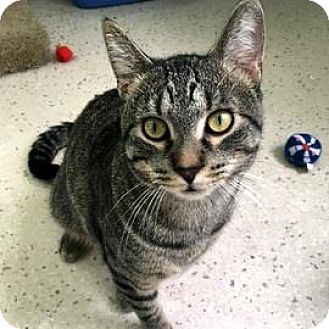 Domestic Shorthair Cat for adoption in Janesville, Wisconsin - Kato