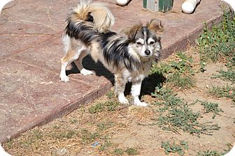 Papillon/Pomeranian Mix Puppy for adoption in Simi Valley, California - Hawk