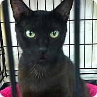Adopt A Pet :: Licorice - Seminole, FL