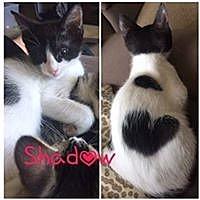 Adopt A Pet :: Shadow - Mission Viejo, CA
