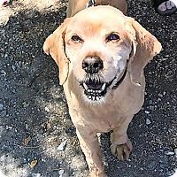 Adopt A Pet :: Boo Bear - ADOPTION PENDING - Sacramento, CA