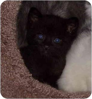 Domestic Shorthair Kitten for adoption in Davis, California - Tater Tot