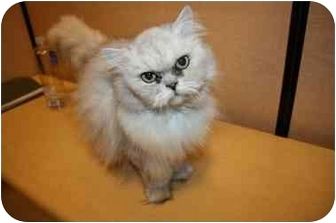 Persian Cat for adoption in Howell, Michigan - Miss Louise