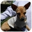 Photo 1 - Chihuahua Mix Dog for adoption in San Clemente, California - COOKIE