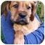 Photo 3 - Schnauzer (Miniature)/Hound (Unknown Type) Mix Puppy for adoption in Osseo, Minnesota - Stanley