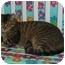 Photo 3 - Calico Cat for adoption in Houston, Texas - Kiki