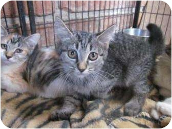 Domestic Shorthair Cat for adoption in Tucson, Arizona - Carly