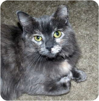 Domestic Longhair Cat for adoption in Salamanca, New York - Emme
