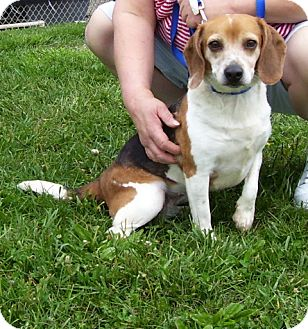 Beagle Mix Dog for adoption in Somerset, Pennsylvania - Virginia-Hayley