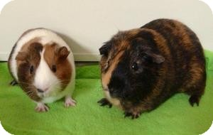 Guinea Pig for adoption in Fullerton, California - Adrian and Blaze