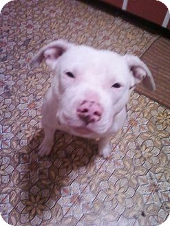 American Pit Bull Terrier Dog for adoption in Carey, Ohio - WILBUR