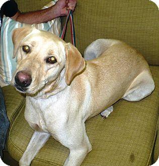 Labrador Retriever Dog for adoption in Eastpoint, Florida - Kiwi