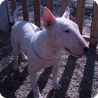 Bull Terrier Puppy for adoption in Los Angeles, California - Charlie