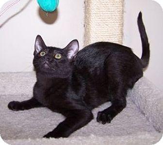 Domestic Shorthair Cat for adoption in Colorado Springs, Colorado - K-Amelia1-Wilbur