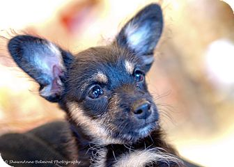 Terrier (Unknown Type, Small)/Dachshund Mix Puppy for adoption in Brea, California - Hanna