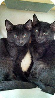 Domestic Shorthair Kitten for adoption in Scottsdale, Arizona - Peanut's Boys