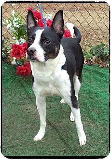 Basenji Mix Dog for adoption in Marietta, Georgia - GRAYSON