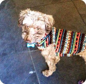 Poodle (Miniature) Mix Dog for adoption in Salem, Oregon - Topaz