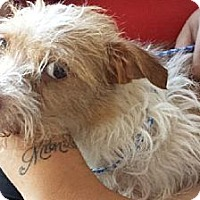 Terrier (Unknown Type, Medium) Mix Dog for adoption in Porter Ranch, California - Zelda
