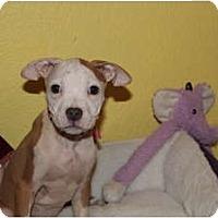 Adopt A Pet :: Orchid - Rowlett, TX