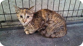 Domestic Shorthair Kitten for adoption in El Dorado Springs, Missouri - Autumn