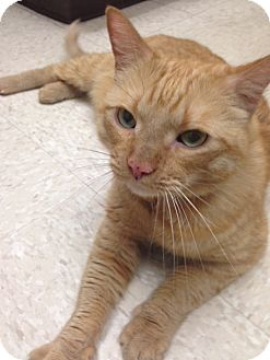 Domestic Shorthair Cat for adoption in Los Angeles, California - Ryder